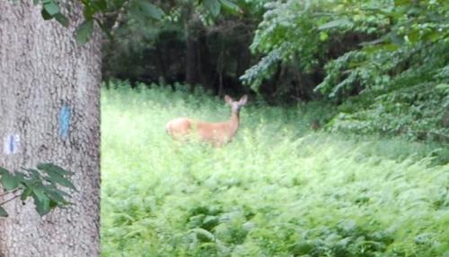 Deer in Belknap Preserve